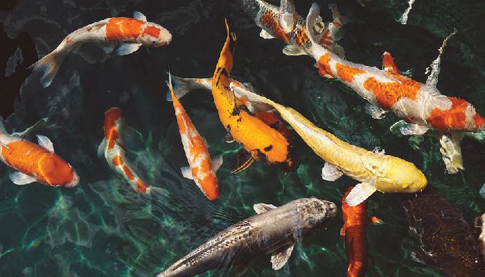 fishpicc